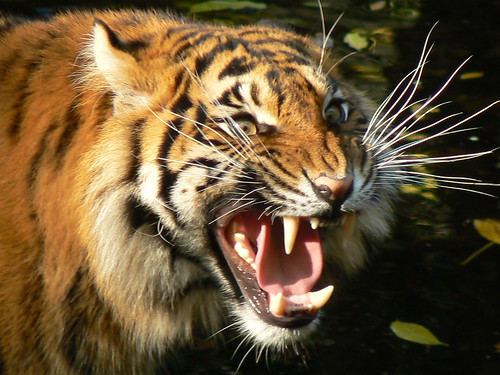 Terrific Pictures of Roaring Tigers - photo#40