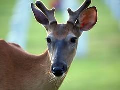 deer@jefferson barracks