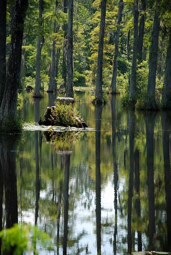 reflection tree sc water southcarolina charleston swamp cypress charlestonsc cypresstrees coastalswamp charlestoncypressgradens