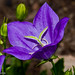 Balloon Flower (Platycodon)