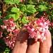 Flickr photo 'Ribes sanguineum' by: Mollivan Jon.
