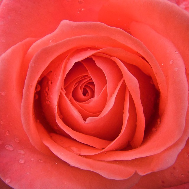 Heart of rose/ Corazón de rosa