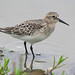 Baird's Sandpiper - Photo (c) Jamie Chavez, some rights reserved (CC BY-NC)