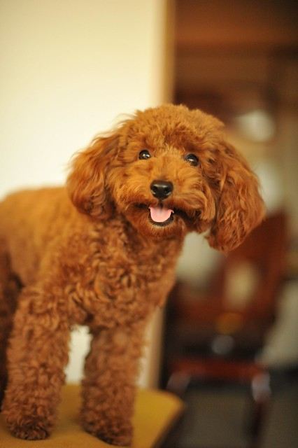 Toy Poodle Puppy Dogs : Toy poodle chocolate flickr photo sharing