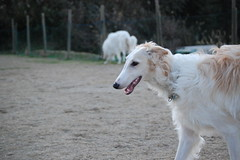 dog sports, animal, silken windhound, dog, galgo espaã±ol, sighthound, saluki, pet, mammal, borzoi,
