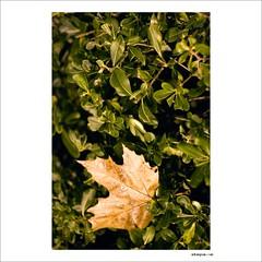 shrub(0.0), flower(0.0), tree(0.0), produce(0.0), aquifoliaceae(0.0), aquifoliales(0.0), branch(1.0), leaf(1.0), plant(1.0), maple leaf(1.0),