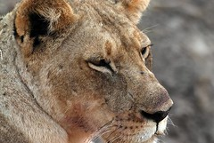 Bloody Lion, South Luangwa National Park, Zambia