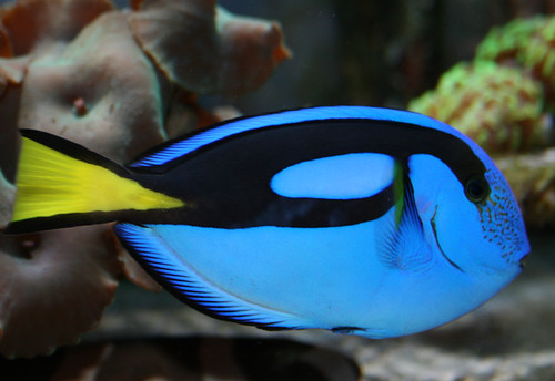 Dory A Pacific Blue Tang  by  Pacific Blue Tang Dory