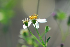 Bidens Alba, common weeds in Hong Kong, Yuen Long, Hong Kong
