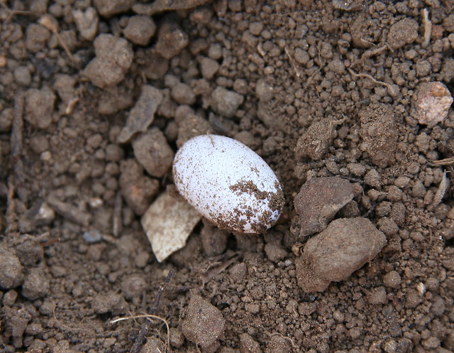 how to find snake eggs