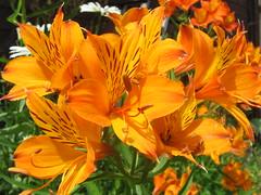 lilium bulbiferum(0.0), lily(1.0), flower(1.0), yellow(1.0), plant(1.0), flora(1.0), peruvian lily(1.0), daylily(1.0), petal(1.0),