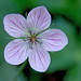Richardson's geranium - Photo (c) Al_HikesAZ, some rights reserved (CC BY-NC)