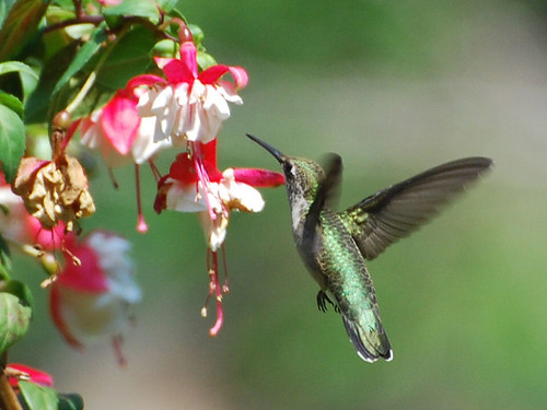 Hummingbird and Fuschia by agdenza