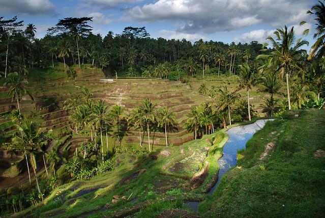 Stepped rice terraces, Ubud, Bali
