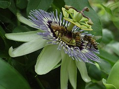 Four HONEY BEES on the PASSION FLOWER