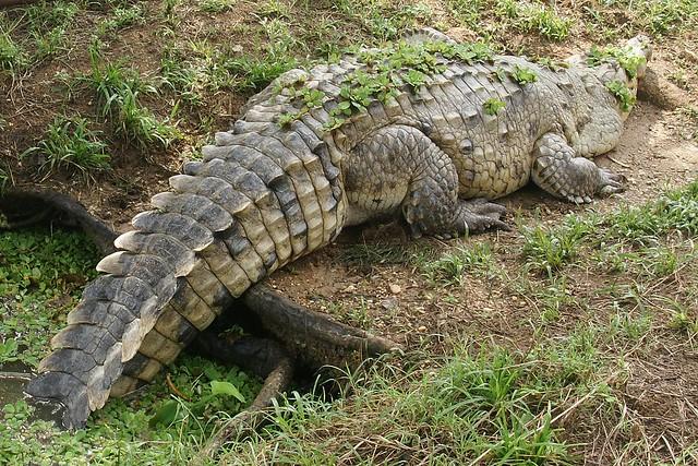 Questões e Fatos sobre Crocodilianos gigantes: Transferência de debate da comunidade Conflitos Selvagens.  - Página 2 2801065565_882c67af37_z