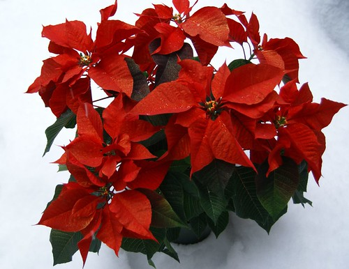 Advent pointsettia