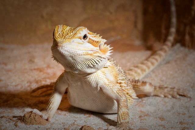 Central Bearded Dragon | Flickr - Photo Sharing!
