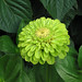 Zinnia Benary's Lime Green