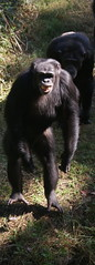 american black bear(0.0), chimpanzee(1.0), animal(1.0), western gorilla(1.0), mammal(1.0), great ape(1.0), gorilla(1.0), fauna(1.0), common chimpanzee(1.0), new world monkey(1.0), ape(1.0), wildlife(1.0),