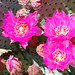 Beavertail Cactus Blossoms 1