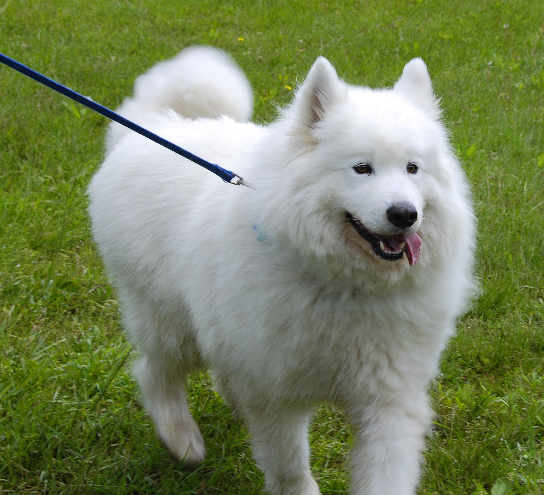 Big fluffy white cute furry dog | Flickr - Photo Sharing!