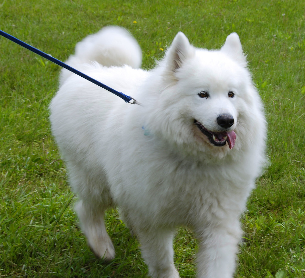 Large Fluffy Dog Breeds