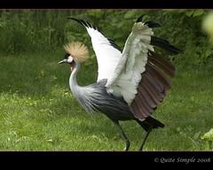 Grey Crowned Crane - Kraanvogel