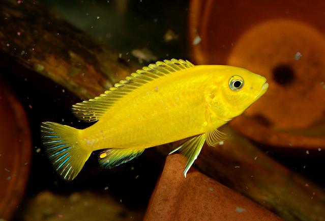 Labidochromis caeruleus female | Flickr - Photo Sharing!  Labidochromis c...