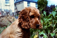 dog breed, animal, sussex spaniel, dog, boykin spaniel, welsh springer spaniel, pet, mammal, field spaniel, russian spaniel, english cocker spaniel, picardy spaniel, spaniel, german spaniel, english springer spaniel, american cocker spaniel,