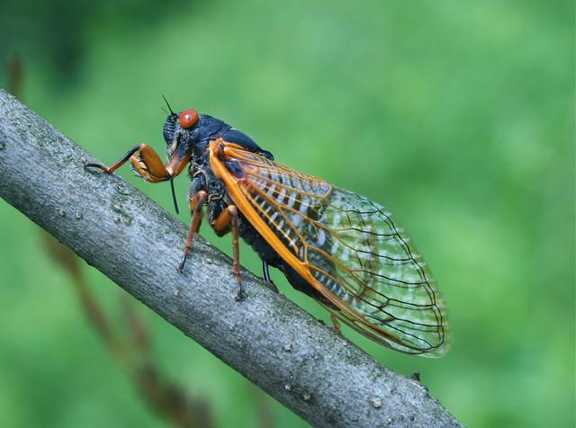 cicada eggs - photo #17