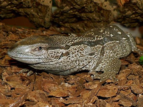 White Throat Monitor Lizard | Flickr - Photo Sharing!