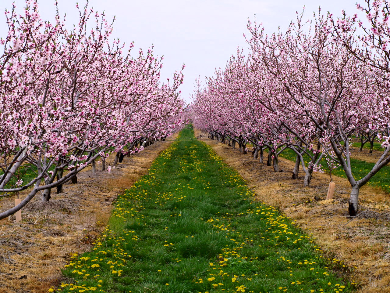 peach orchard Cj orchards — rutledge, ga's premier location for fresh peaches, blueberries, tomatoes and pecans - all picked fresh at the peak of the season.