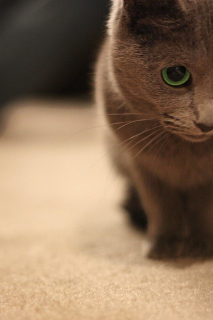 photo Russian Blue With Green Eyes