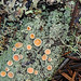 Double-Rimmed Saucer Lichen - Photo (c) Richard Droker, some rights reserved (CC BY-NC-ND)