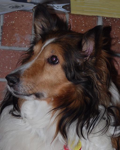 sheltie adoption doggie for pam   6671 flickr   photo