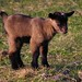 Geitje  Goat 2 days old by ditmaliepaard