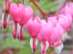 blossom(0.0), shrub(0.0), flower(1.0), bud(1.0), plant(1.0), macro photography(1.0), flora(1.0), cyclamen(1.0), pink(1.0), petal(1.0),