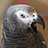 the African Grey (please tag AfricanGrey) group icon