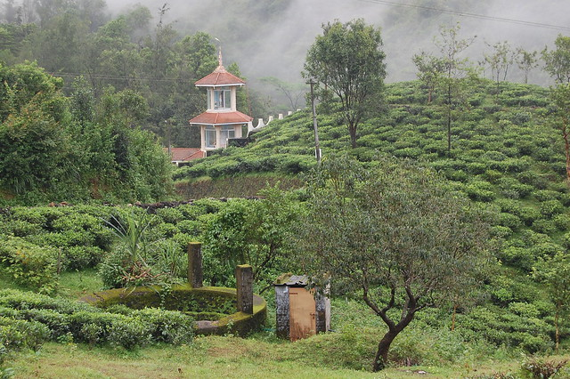 tea plants and an old well