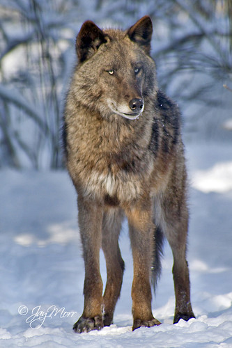 Alaska Wolf by JayMorr