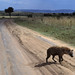 Hyena crosses a desolate road