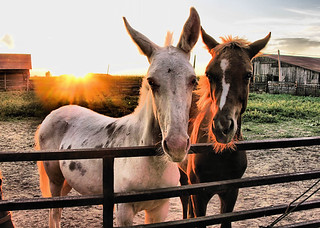 ~White Mule with Filly at Sunset~