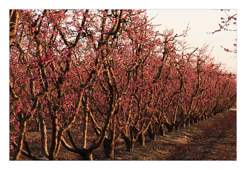 california trees winter flower landscape unitedstates blossoms orchard sanger minkler