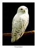 Snowy Owl - Photo (c) Athanassios Pappas, some rights reserved (CC BY-NC)