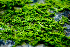 algae, leaf, nature, macro photography, flora, green, forest, green algae, moss,