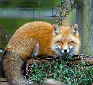 The Lazy Red Fox