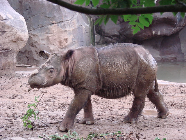 why the sumatran rhinoceros will be Fight for the last sumatran rhinos with only 3 wild sumatran rhinos left in malaysia, the critically endangered sumatran rhinos in indonesia are now also running out.