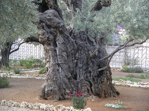 Olive Tree - Garden of Gethsemane