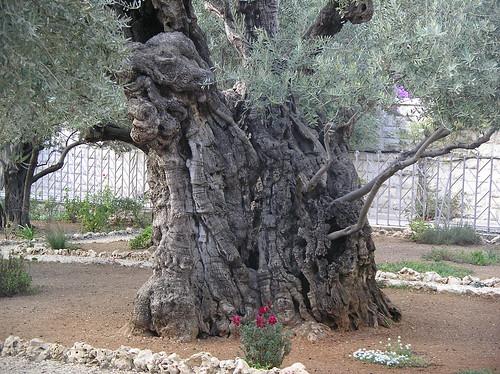 Olive Tree - Garden of Gethsemane